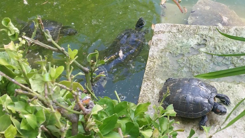 Slider turtles