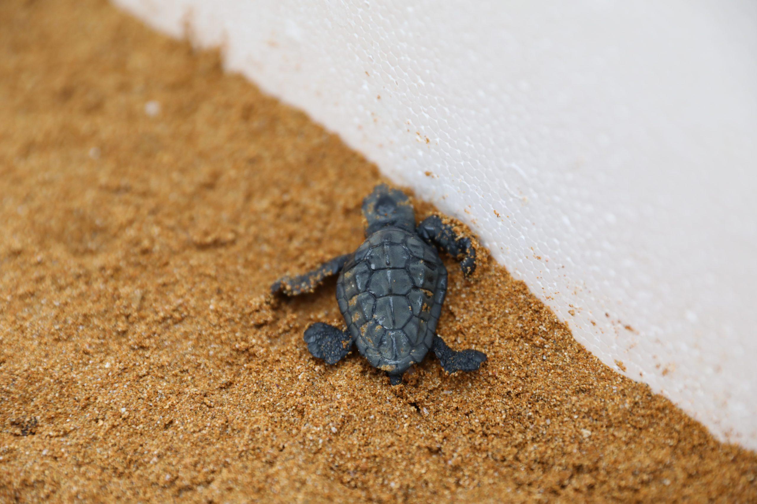 Loggerhead turtle nest 07.09.21(2)