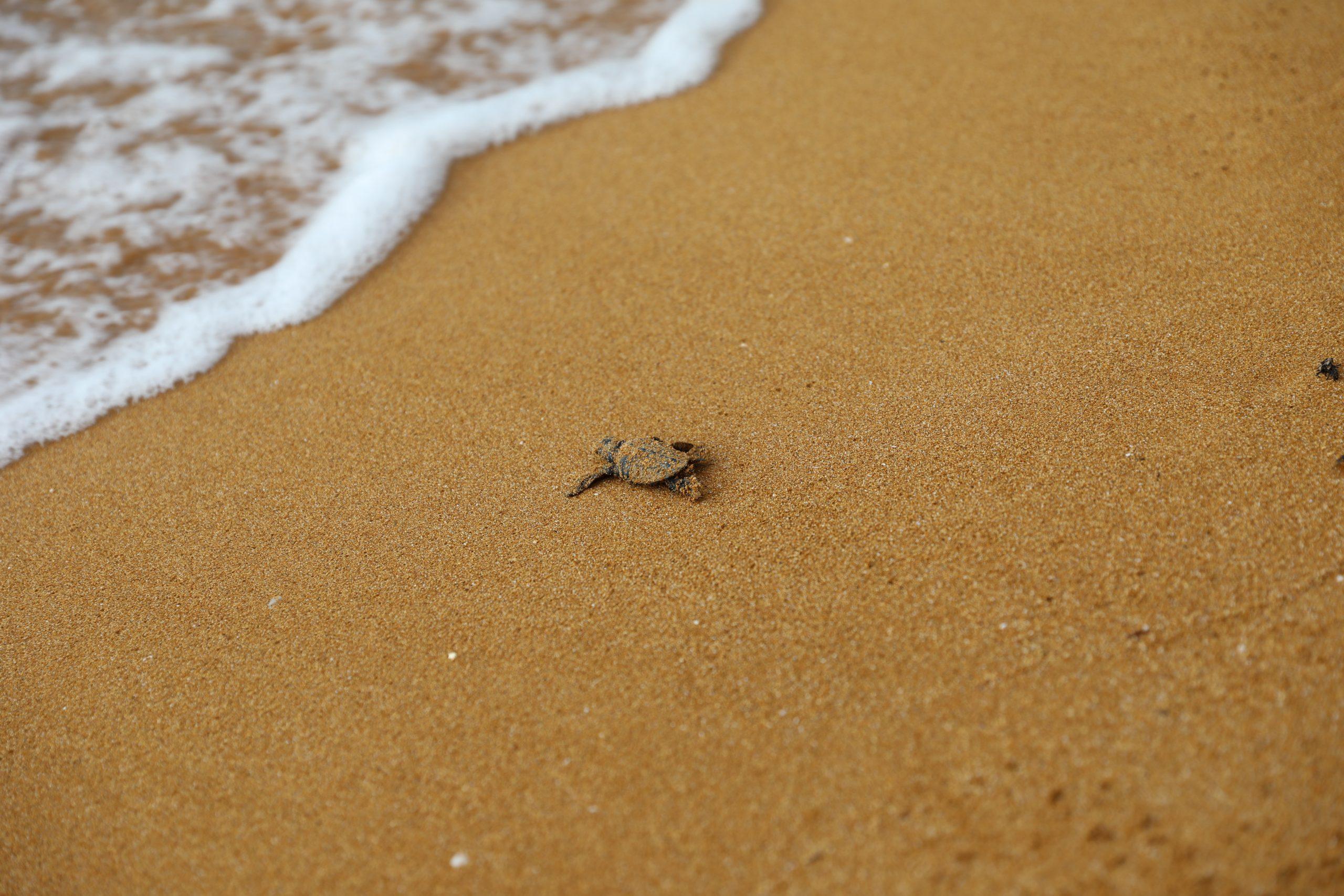 Loggerhead turtle nest 07.09.21(3)